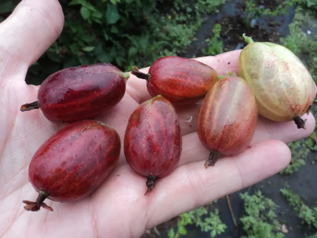Крупные ягоды сорта Ксения
