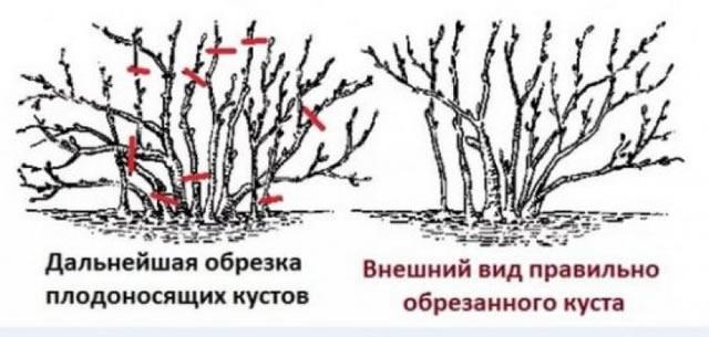 Правильная обрезка крыжовника Черный Негус