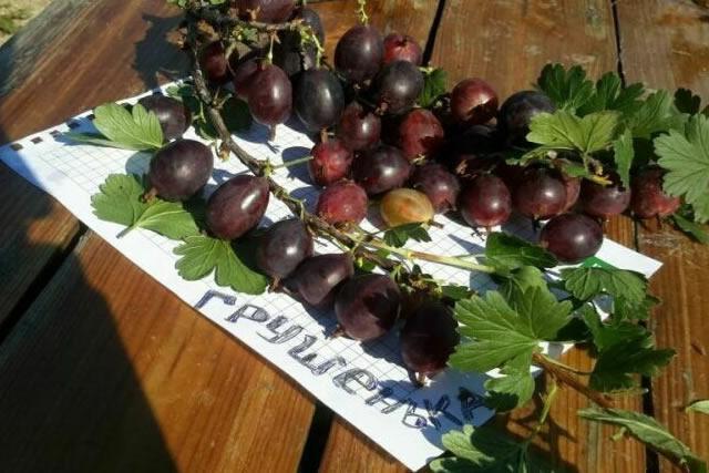 Крупные плоды крыжовника Грушенька