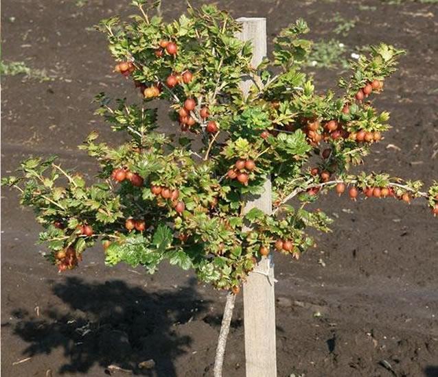 Выращивание Хиннонмаки Ред на штамбе