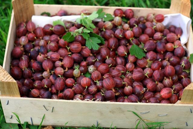 Собранный урожай крыжовника Хиннонмаки Ред