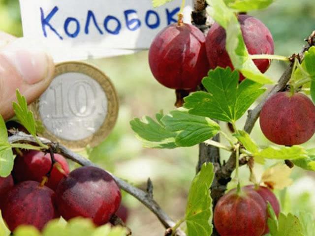 Крупные плоды крыжовника Колобок