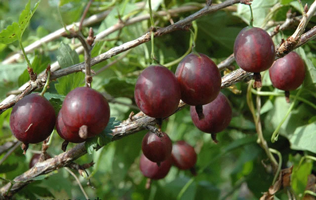 Спелые ягоды крыжовника Олави