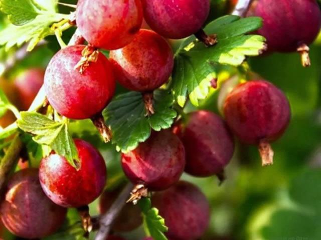 Вкусные ароматные ягоды Розовый 2