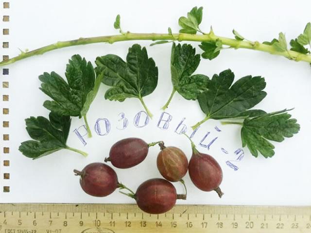 Листья, ягоды, стебли Розовый 2