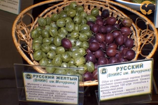 Сравнение ягод по цвету и размеру: крыжовник Русский желтый и Русский
