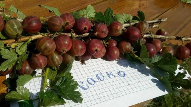 Стебель крыжовника Садко с плодами