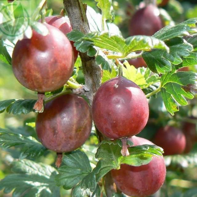 Крупные ягоды крыжовника Садко