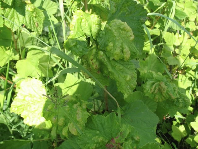 Скрученные листья - первый симптом поражения тлей