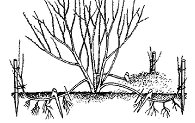 Размножение крыжовника прикапыванием побегов