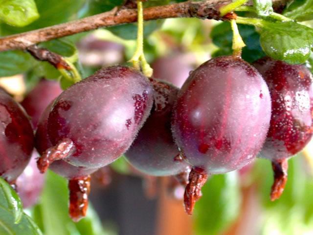 Плоды крыжовника сорт Финик