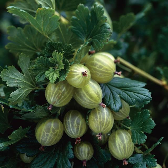 Крупные плоды крыжовника сорт Финский