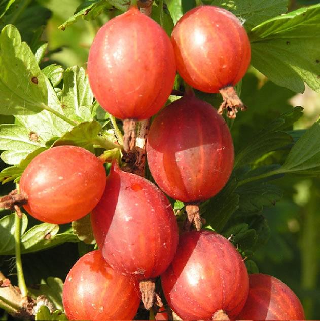 Плодовая ветка крыжовника Машека крупным планом