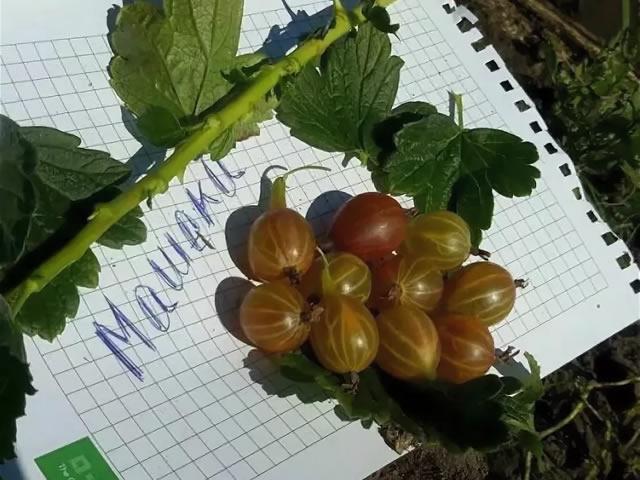 Побеги, листья, плоды крыжовника Машека