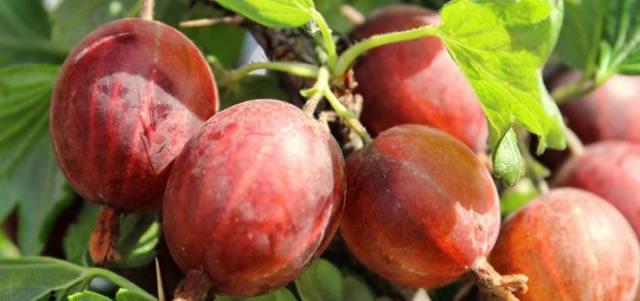 Крупные плоды крыжовника сорт Машека