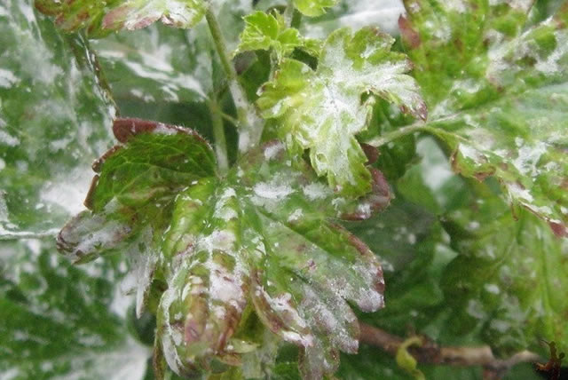 Листья крыжовника, пораженные мучнистой росой