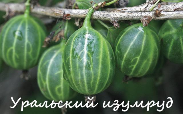 Уральский изумруд - сорт крыжовника для Урала и Сибири