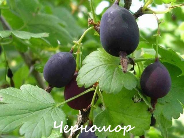 Черномор - сорт крыжовника для Урала и Сибири