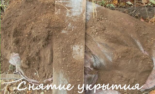 Снятие укрытия с кустов крыжовника