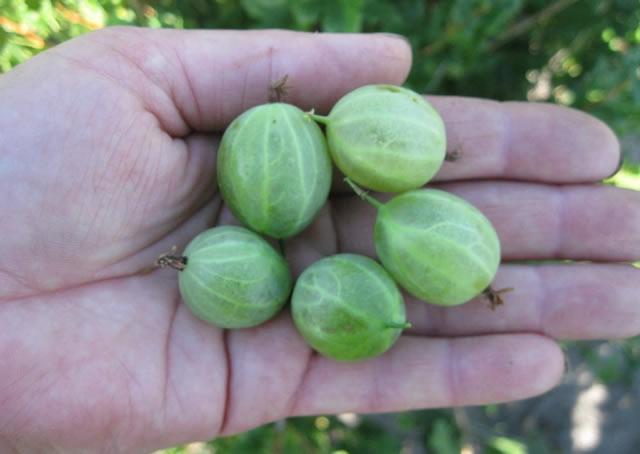 Крупные ягоды крыжовника Зеленый дождь