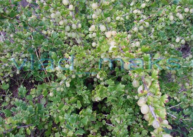 Куст крыжовника Зеленый дождь
