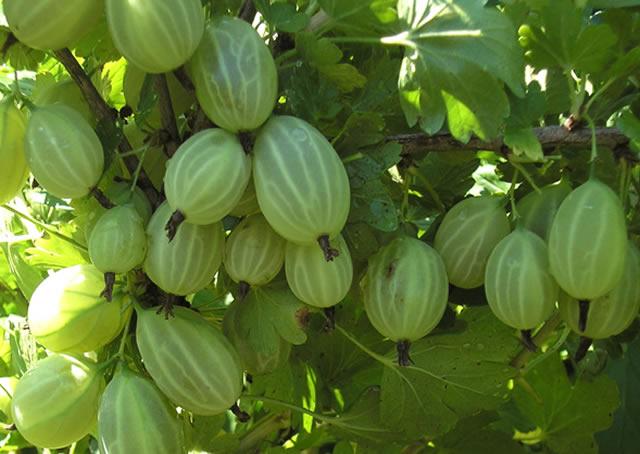 Крупные ягоды крыжовника сорт Зеленый дождь
