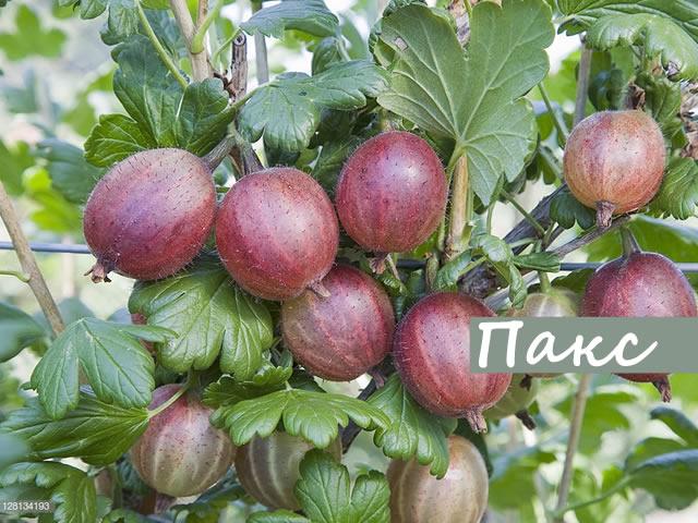 Поспевшие ягоды крыжовника Pax