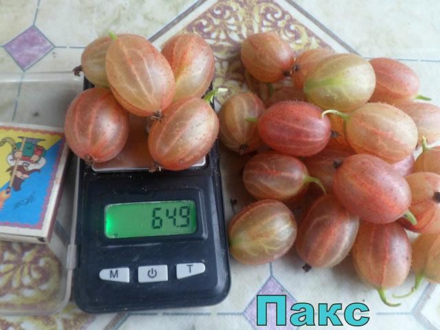Крупные плоды крыжовника Пакс на весах