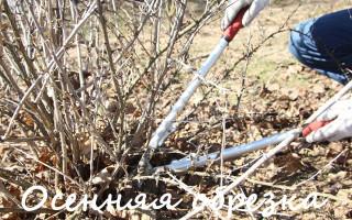 10 правил обрезки крыжовника осенью для начинающих