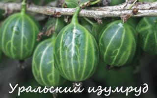 Выбираем лучший сорт крыжовника для Урала и Сибири