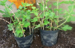 Как правильно посадить крыжовник осенью?