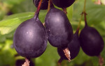 Крыжовник сорт Черный Негус: описание, фото, отзывы