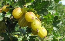 Крыжовник сорт Английский желтый: описание, фото, отзывы