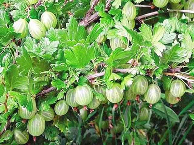 Побег с ягодами Уральский изумруд